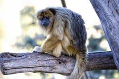 Caraya negro del Alouatta del mono de chillón Fotografía de archivo libre de regalías