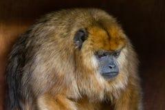 Caraya negro del Alouatta del mono de chillón foto de archivo