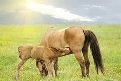 Carbón del caballo de los animales del campo Imagen de archivo