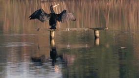 Carbón del Phalacrocorax del cormorán que estira las alas hacia fuera para secarse metrajes