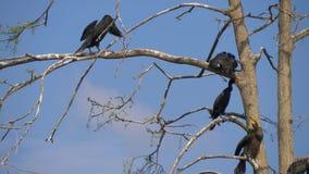Carbo do Phalacrocorax Grande cormorant preto video estoque