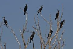 carbo kormoranów phalacrocorax Fotografia Stock