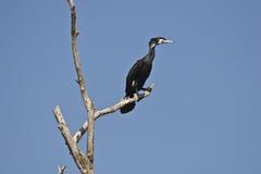 carbo kormoranu phalacrocorax Obrazy Royalty Free