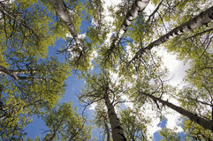 Carbon Creek Aspen Grove Royalty Free Stock Images