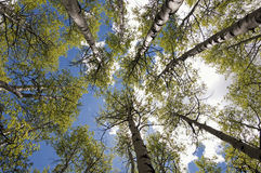 Carbon Creek Aspen Grove Royalty Free Stock Image