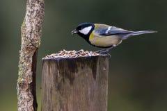 Carbonero bird in Spain Stock Image
