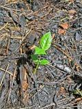carbonized teckenna unga skoggreenleafs Royaltyfria Foton