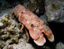 Carburador enorme no recife coral fotografia de stock