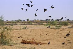 Carcaça do camelo de Rajasthan Fotos de Stock Royalty Free