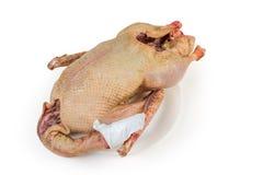 Carcaça estripada cru do ganso doméstico no fundo branco fotografia de stock royalty free