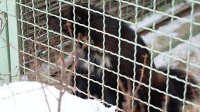 Carcajou nerveux derrière la cage au zoo clips vidéos