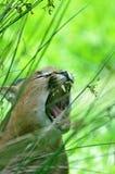 Carcal i den Exmoor zoo Royaltyfria Bilder