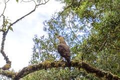 Carcara. Cracará perched on tree in Itatiaia National Park, Rio de Janeiro Stock Photos