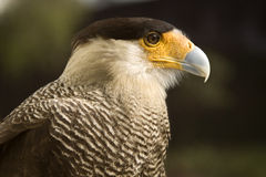 Carcara Eagle Stock Photography