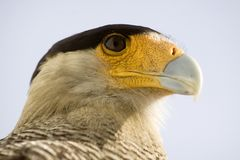 Carcara Eagle Royalty Free Stock Photography