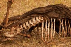 Carcass Stock Photos