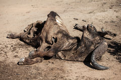 Carcass of Cape Buffalo in South Africa Royalty Free Stock Photos