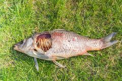 Carcass of a dead fish laying in green grass Stock Image