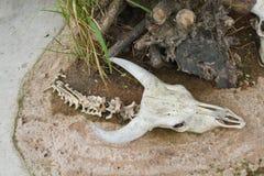 Carcass head skull of bull Stock Image