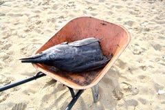 Carcass of sailfish. Half cutted carcass of sailfish found at Perhentian Island, Terengganu, Malaysia Stock Photo