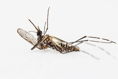 Carcass of yellow fever mosquito Stock Image