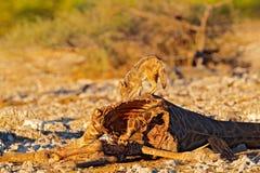 Carcassa con gli sciacalli d'alimentazione, comportamento animale della giraffa in Etosha NP, Namibia in Africa Scena della fauna fotografie stock libere da diritti