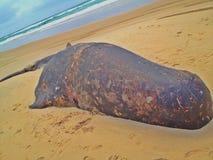 Carcassa della balena Immagini Stock Libere da Diritti