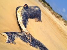 Carcassa della balena Immagini Stock