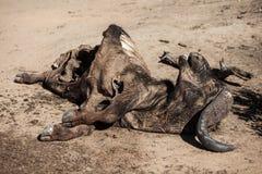 Carcassa della Buffalo del capo nel Sudafrica Fotografie Stock Libere da Diritti