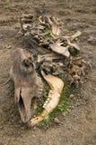 Carcassa della mucca Immagine Stock
