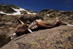 Carcasse d'animal mort Photo libre de droits