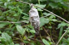 Carcasse d'un papillon dans son cocon Photo stock