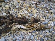 Carcasse de dauphin de Bottlenose, plage de la Californie Image libre de droits