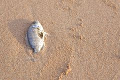 Carcasses of dead fish Royalty Free Stock Images