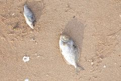 Carcasses of dead fish Royalty Free Stock Photo
