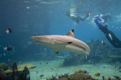 Carcharhinus. Skindivers and Blacktip Reef Shark (Carcharhinus melanopterus Stock Image