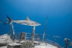 Carcharhinus amblyrhynchos grauer Riffhaifisch Lizenzfreie Stockbilder