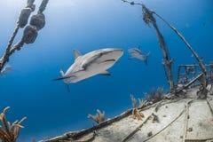 Carcharhinus amblyrhynchos grauer Riffhaifisch Lizenzfreies Stockfoto
