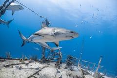 Carcharhinus amblyrhynchos grauer Riffhaifisch Stockbild