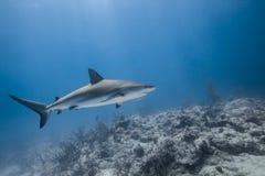 Carcharhinus amblyrhynchos grey reef shark. Swim along a reef in blue ocean of Bahamas royalty free stock image