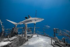 Carcharhinus amblyrhynchos grey reef shark stock images