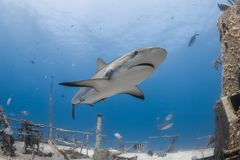 Shark Carcharhinus amblyrhynchos grey reef stock photos