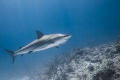 Carcharhinus amblyrhynchos grey reef shark. Swim along a reef in blue ocean of Bahamas stock images