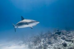 Carcharhinus amblyrhynchos grey reef shark. Swim along a reef in blue ocean of Bahamas royalty free stock images