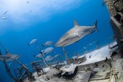 Carcharhinus amblyrhynchos grey reef shark Stock Image