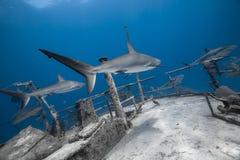 Carcharhinus amblyrhynchos grey reef shark. Swim along a wreck in blue ocean of Bahamas royalty free stock photos