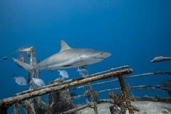 Carcharhinus amblyrhynchos siwieją rafowego rekinu Fotografia Stock