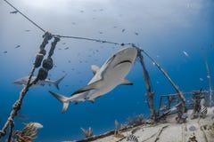 Carcharhinus amblyrhynchos siwieją rafowego rekinu Obraz Stock