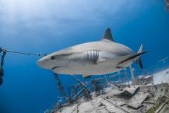 Carcharhinus amblyrhynchos siwieją rafowego rekinu Fotografia Royalty Free