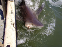 Carcharhinus Leucas - Bull Shark. Caught on a long-line to be tagged and released royalty free stock image